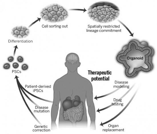 '오가노이드' 기술을 나타낸 개념도. 인간의 몸에서 줄기세포를 추출하고 배양하면 치료에 필요한 세포나 장기를 생산할 수 있다. - 사이언스 제공